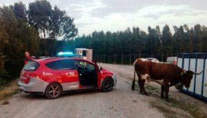 El ganadero encontró la primera vaca con ayuda de los cabestros. Fotografïa: Policía Foral.