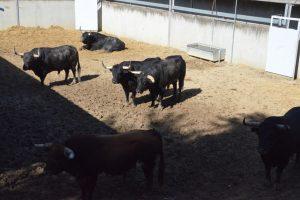 Los toros de Victoriano del Rio en uno de los corrales del Gas.