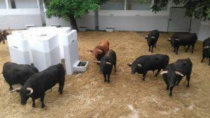 Los utreros de El Parralejo en el corral central de la plaza de toros de Pamplona.