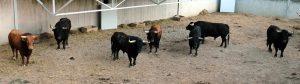Los siete toros