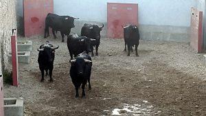 Los seis toros de Aldeanueva en el corral del encierro de Tudela.