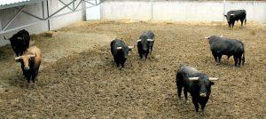 Los siete toros que han lelgado, en uno de los corrales del Gas.