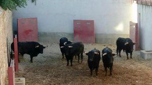 Los toros de Valdefresno, en los corrales de Tudela, a la espera de que sean lidiados esta tarde.
