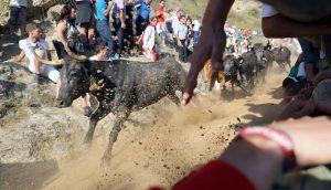 Las reses navarras de Eulogio Mateo han galopado han gran velocidad. Fotografía: Jesús Caso.