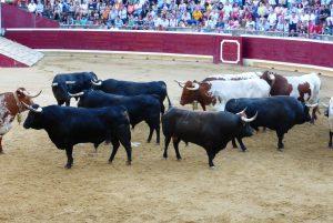 Los toros de Marqués de Albaserrada en el ruedo tafallés. Fotografía: Miguel Monreal.