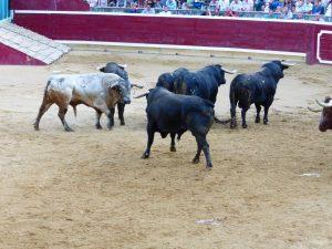 Vairos toros de Couto de Fornilhos. Fotografía: Miguel Monreal.