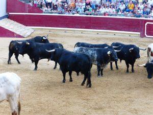 Los toros de San Román, ayer, sobre la arena tafallesa. Fotografía: Miguel Monreal.