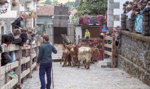 Las 8 vacas de la ganadería Marqués de Saka animaron las primeras horas de la mañana de ayer. Fotografía: Carmona.