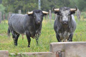 Dos toros de Ana Romero, de una ganadería que visitarán los aficionados de Peralta.