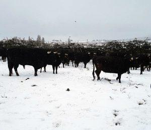 Los utreros en El Ontanal sobre la nieve.