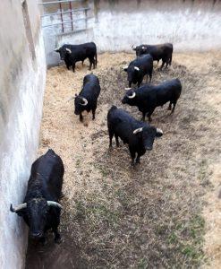 Los toros de Virgen María en los corrales de Fitero recuperando fuerzas tras el largo viaje. Fotografía: cedida.