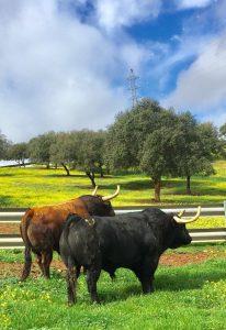 Dos toros de Jandilla, que, si nada se tuerce, viajarán a Pamplona.
