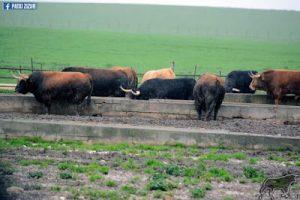 Toros de Cebada Gago en los comederos de La Zorrera. Fotografía: Patxi Zizur.