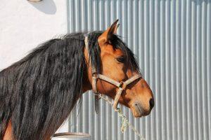 Imagen de la cabeza y del cuellodel caballo puesto en venta.