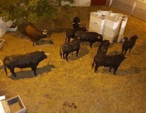 Los nueve utreros de Ganadería de Pincha en el corral central de la plaza de toros de Pamplona.