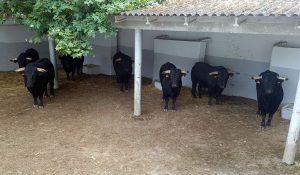 Al igual que el año pasado, desde Salamanca han llegado nueve toros.