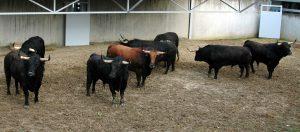 Los ocho toros de Jandilla que han llegado a Pamplona.