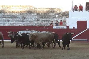 Todas las fotogafías recogen imágenes de toros de Torrehandilla y Torreherberos.