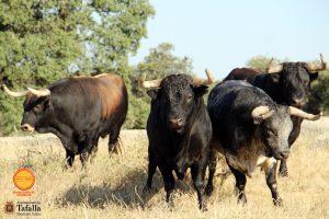 Cuatro toros de Aguadulce reseñados para ser lidiados en Tafalla.