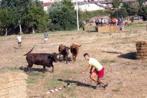 La traída de vacas es un festejo arraigado en Cintruénigo.