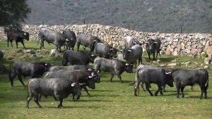 Toros de Adolfo Martín en su hábitat, en Los Alijares.