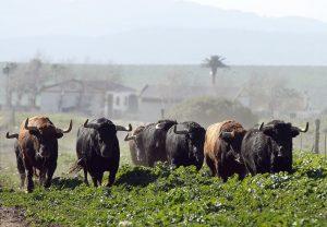 Los toros de La Palmosilla, galopando en La China.