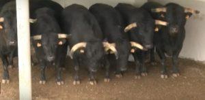 Toros de El Capea, los primeros en llegar a Pamplona.