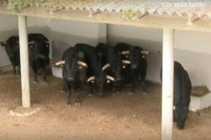 Algunos de los toros de El Capea en un corral de la plaza de toros de Pamplona.