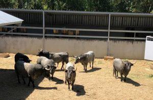 Los toros de José Escolar, al mediodía en un corral del Gas.