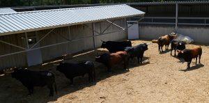 Los ocho toros de La Palmosilla que han llegado al Gas. Fotografía: Navarra.com