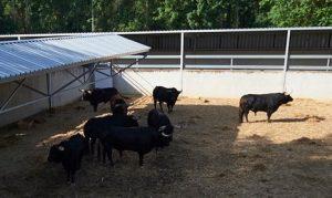 Los toros de Victoriano del Río en el Gas. Fotografía: Miguel Osés. Navarra.com.