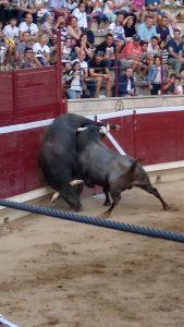 Espectacular pelea de dos toros de Saltillo.