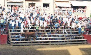 Un ejemplar de Arriazu en un festejo celebrado en Murchante. Fotografía: Sonia Pérez.
