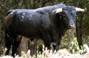 Uno de los toros de Los Maños que se lidiará el domingo en la plaza navarra de Corella.