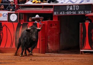 Un toro de salida en la Monumental de Insurgentes.