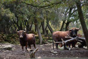 Dos toros de Reta de Casta Navarra en la finca navarra La Tejería, en Grocin.