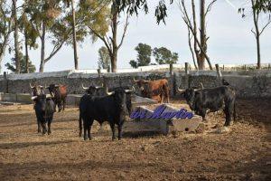 Los toros destinados a Pamplona en La Zorrera.
