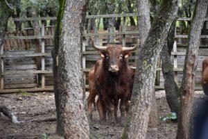 Toros de Reta de Casta Navarra se lidiarán en Ceret el año que viene.