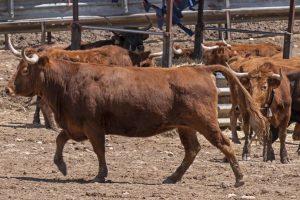 Vacas de Reta en Grcocin. Fotografía: Montxo A. G.