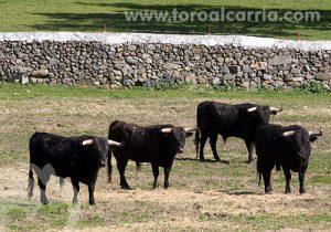 Toros de Gabriel Rojas en su hábitat.
