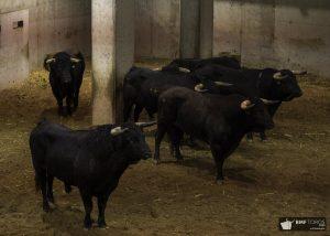 Los toros para esta tarde en los corrales de la plaza de Logroño.