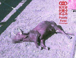 Un astado muerto en la finca ganadera de Marcilla. Fotografía: Policía Foral.