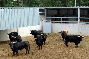 Toros de Garcigrande en los pamploneses corrales del Gas, en 2014, año de la presentación de esta ganadería en la llamada Feria del Toro.