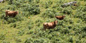 Tres vacas betizu en el monte. Fotografía: Sudouest.